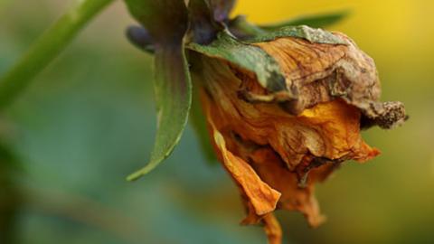 Un fiore sciolto dalla violenza