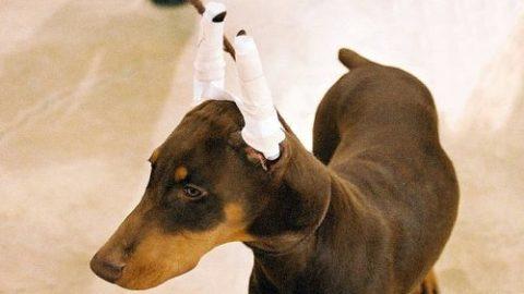 Mutilazioni per le mostre canine: gesti d'amore o solo di interesse?
