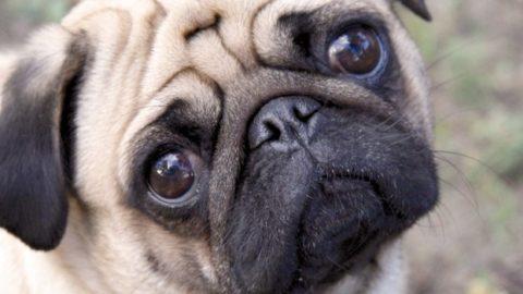 Mutilazione per mostre canine: salute o soldi?
