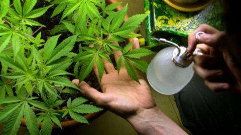 Cannabis , la più vecchia delle droghe.