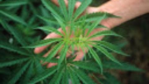 """""""La Cannabis fa male o no?"""""""